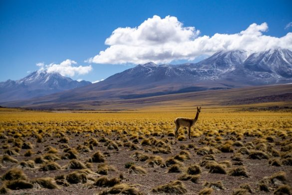 Vicuña in the Atacama desert in Chile